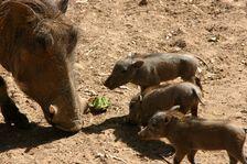 New baby warthogs at Wildlife World Zoo minutes away